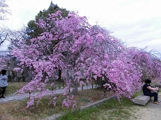 枝垂れ桜.jpgのサムネイル画像